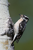Female Downy Woodpecker (Picoides pubescens). Deschutes County, Oregon. May.