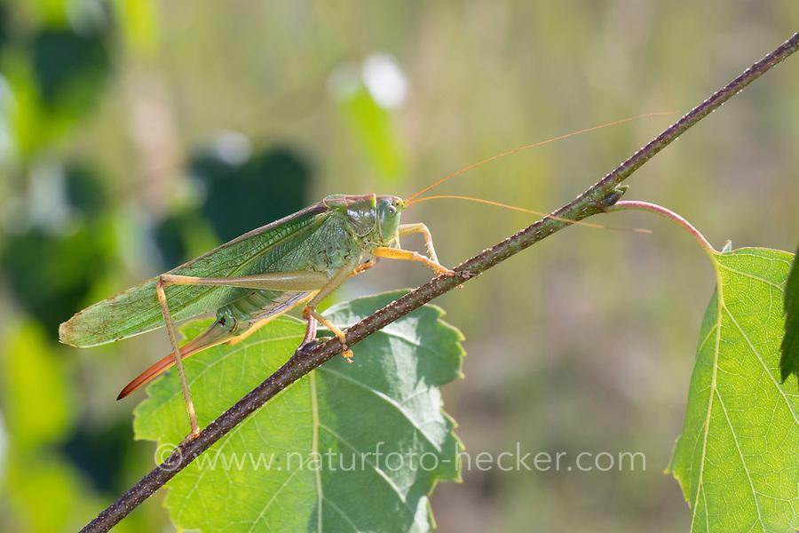 Grünes Heupferd, Weibchen, Großes Heupferd, Großes Grünes Heupferd, Grüne Laubheuschrecke, Tettigonia viridissima, Great Green Bush-Cricket, Green Bush-Cricket, female, la grande sauterelle verte, Tettigoniidae