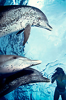Atlantic spotted dolphin with snorkeler, Stenella frontalis, Bahamas ( Atlantic Ocean ) MR