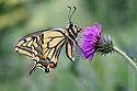 Common swallowtail butterfly (Papilio machaon) in alpine meadow. Nordtirol, Tirol, Austrian Alps, Austria, 1600 metres altitude, June.