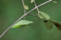Black Swallowtail (Papilio polyxenes), chrysalis, Hill Country, Texas, USA