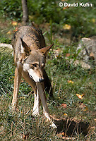 0822-1003  Critically Endangered Red Wolf, Canis rufus (syn. Canis niger)  © David Kuhn/Dwight Kuhn Photography