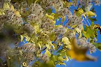 Waldrebe, Gewöhnliche Waldrebe, Echte Waldrebe, Gemeine Waldrebe, Wald-Rebe, Früchte, Clematis vitalba, Old Man´s Beard, Traveller´s Joy, La Clématite des haies, la Clématite vigne-blanche