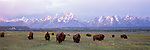 Bison graze underneath the Tetons in spring in Grand Teton National Park, Wyoming.