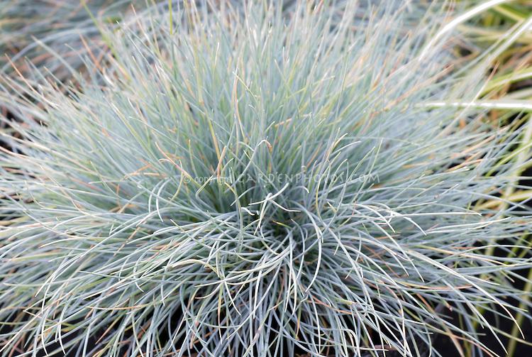 Festuca glauca 'Blaufuchs' aka Blue Fox Fescue, blue ornamental grass, closeup of foliage leaves needles