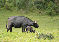A mother Cape Buffalo, Syncerus caffer caffer, stands with her newborn calf in Arusha National Park, Tanzania. The umbilical cord can still be seen hanging from the mother.