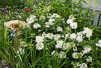 Garden ornaments amid hydrangea and white picket fence