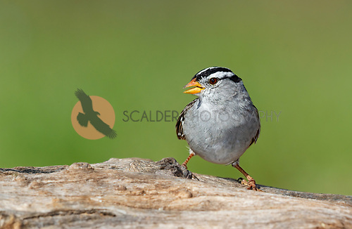 White-crowned Sparrow perched on dead limb