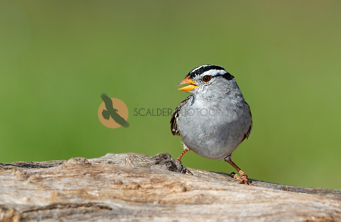 White-crowned Sparrow perched on dead limb with green background