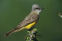 Couch's Kingbird, Tyrannus couchii ,adult, Starr County, Rio Grande Valley, Texas, USA