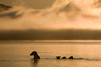 Brown bear sow fishes with spring cubs at sunrise in Naknek lake, Katmai National Park, Alaska.