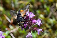 Raupenfliege, Borstenfliege, Nowickia ferox, Raupenfliegen, Tachinidae, Schmarotzerfliegen, tachinids, parasitic flies