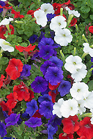 Red, white & blue patriotic color theme flowers, petunias, mixture of American or British flag colors