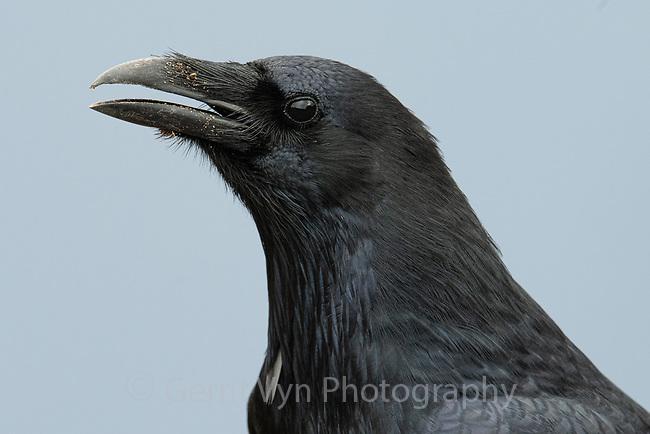 Common Raven (Corvus corax). Crater Lake National Park, Oregon. September.