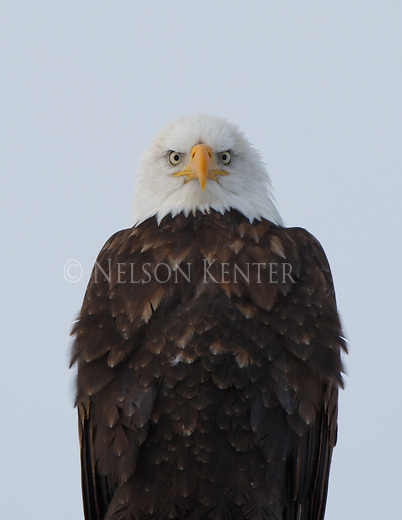 looking into the face of a bald eagle