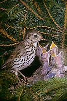 Singdrossel, Altvogel füttert bettelnde, sperrende Küken im Nest, Sing-Drossel, Drossel, Turdus philomelos, song thrush