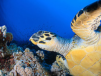 hawksbill sea turtle, Eretmochelys imbricata, Red Sea, Egypt