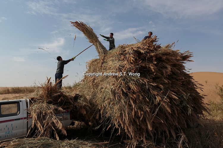Local farmers, who are practising eco-agriculture, collect reed as winter feed for his cattle in Alxa Left Banner, Inner Mongolia, China, October 2017.