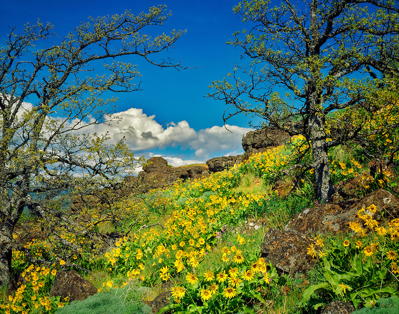 Balsomroot and oak trees. Columbia River Gorge National Scenic Area, Oregon