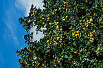 Orangenbaum, Orange-Tree near Episkopi, Cyprus. Zypern.