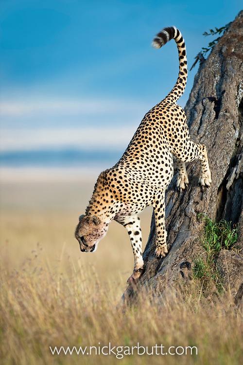 Adult male Cheetah (Acinonyx jubatus) climbing down from look out tree. Masai Mara Game Reserve, Kenya.