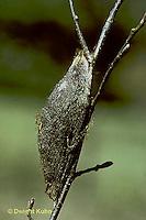 LE26-052b  Cecropia Moth - cocoon ready for winter  - Hyalophora cecropia