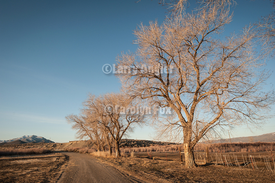 Sun rising over a road and the cottonwood trees, Quinn River Ranch, Nev.