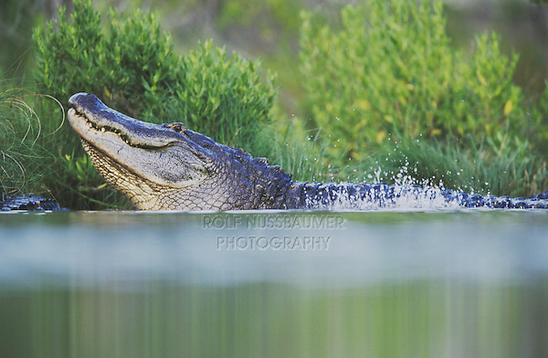 American Alligator (Alligator mississipiensis), adult bellowing, Myrtle Beach, South Carolina, USA
