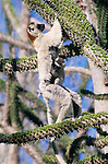 Verreaux's Sifaka (Propithecus verreauxi) with baby feeding in spiny Didierea tree Anjahampolo Spiny Forest,  Madagascar