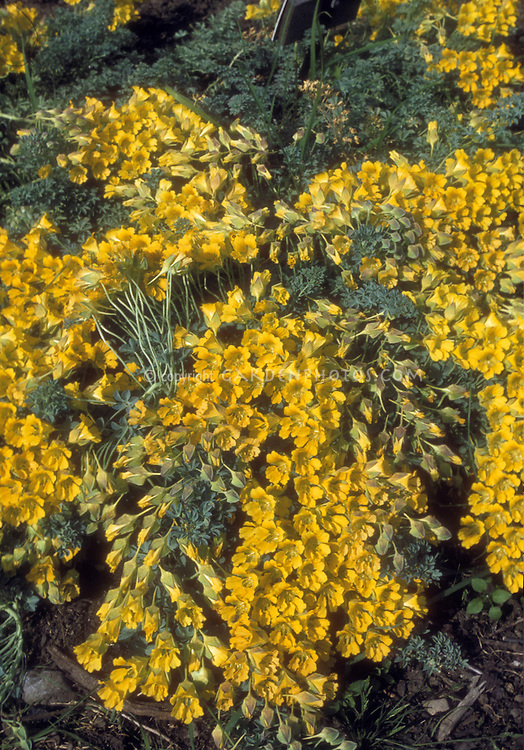 Tropaeolum polyphyllum in yellow flowers, showing trailing plant habit