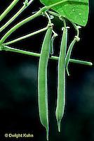 HS30-012d  Bean - green string beans - Provider variety