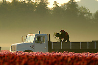 Man with bunch of tulips in back of truck in field of pink tulips, Mount Vernon, Skagit Valley, Skagit County, Washington, USA
