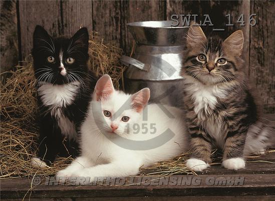 Carl, ANIMALS, photos(SWLA146,#A#) Katzen, gatos