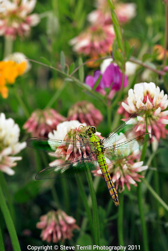 Green dragonfly on wild clover in Multnomah County Oregon