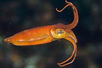 cuttlefish, Sepia tokioensis, Shikine-jima island, Tokyo, Japan, Pacific Ocean