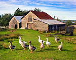 Geese at the barnyard, Chiloe Island, Northern Patagonia, Chile