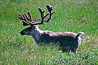 Animais. Mamiferos. Alce (Rangefer tarandus). Alasca. Foto de Luciana Whitaker.