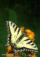 SB01-008b  Butterfly - Tiger Swallowtail - Pterourus glaucus