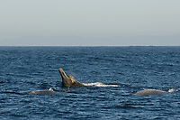 Baird's Beaked Whale, Berardius bairdii, spyhop with tooth buds & eye visible with 2 animals at surface, Monterey Bay National Marine Sanctuary, California, Pacific Ocean