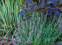 Teucrium chamaedrys (Creeping Germander), flowering in Shelagh Tucker garden, Seattle, Washington
