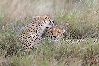 Cheetah grooming his brother, Lewa