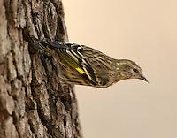 Adult male pine siskin