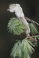 Eastern gray squirrel (Sciurus carolinensis), adult leaping from pine tree, Raleigh, Wake County, North Carolina, USA