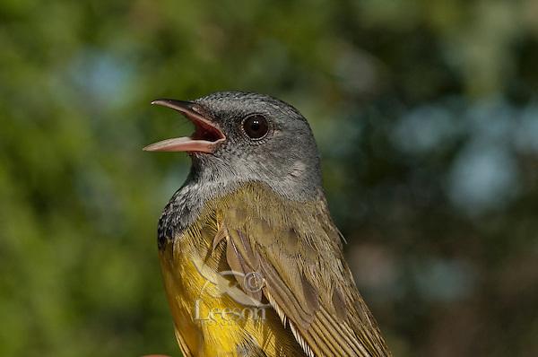 Mourning Warbler female (Oporornis philadelphia).  Lake Erie,  North America.