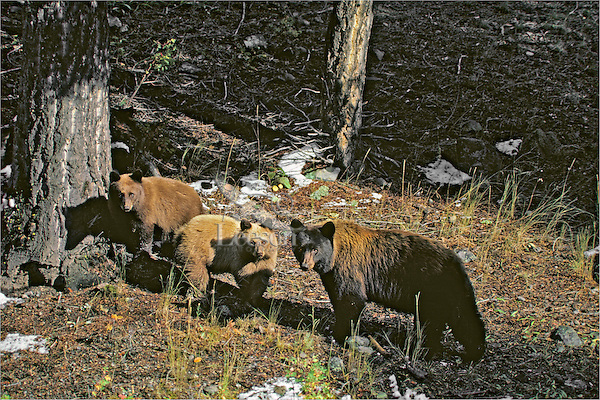Black bear sow with cubs, Western U.S., Fall.
