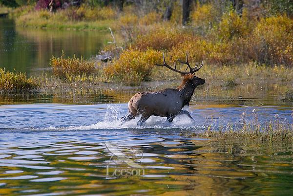 Rocky Mountain Bull Elk (Cervus elaphus) wading river.  Rocky Mountain area.  Fall.