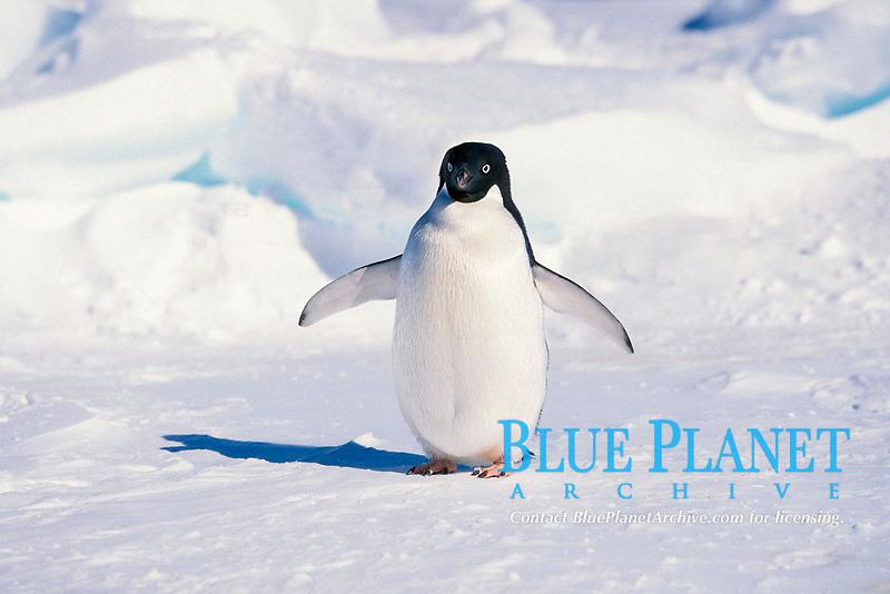 Adelie penguin, Pygoscelis adeliae, Cape Hallet, Antarctica