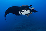 San Benedicto Island, Revillagigedos Islands, Mexico; a black manta ray swimming over the rocky reef