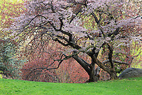 Cherry Tree (Prunus sargentii) with fresh pink flowers in Spring in New York's Central Park.