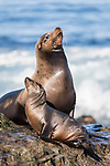 La Jolla, California; a bull male California sea lion and a small pup resting on the rocky shoreline along the Pacific Ocean, in early morning sunlight
